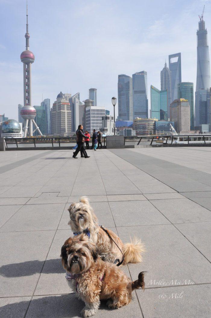 szanghajskie adopciaki