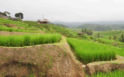 Balijskie tarasy ryżowe Jatiluwih.
